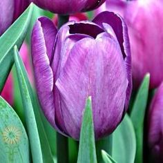 Shop Fabulous Florals' huge selection of fresh-cut wholesale flowers, bulk flowers and DIY wedding flowers and foliage, including Purple Tulips. Purple Tulips, Tulips Flowers, Lavender Flowers, Diy Flowers, Colorful Flowers, Spring Flowers, Purple Color Palettes, Greenhouse Growing, Diy Wedding Flowers