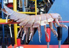 Le Bathynome Géant, un très gros cloporte marin - http://www.photomonde.fr/le-bathynome-geant-un-tres-gros-cloporte-marin/
