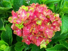 French Hydrangea 'Pistachio' (Hydrangea macrophylla)