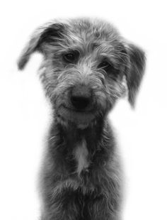 "Bedlington whippet puppy; Bedlington whippet cross; bedlington is ""hypoallergenic"" so would the cross w whippet be?"