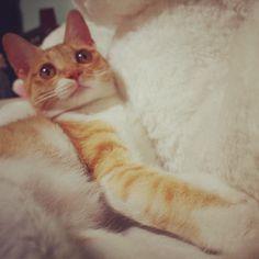 #CheeseCat #Suni #koreanshorthair #cat #cats #catsofinstagram #kitten #고양이 #냥이 #ねこ #猫 #kittiesofinstagram #catale #catoftheday #photooftheday #instacat #cute #catstagram #neko - @apictory- #webstagram