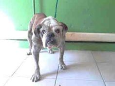 SAFE --- #A4764770 I'm an approximately 10 year old male bulldog. I am not yet neutered. I have been at the Carson Animal Care Center since October 9, 2014. I will be available on October 14, 2014. You can visit me at my temporary home at C221.    Carson Shelter, Gardena, California https://www.facebook.com/171850219654287/photos/a.172032662969376.1073741830.171850219654287/314367165402591/?type=3&theater
