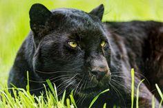 Ao contrário do que muitos pensam, pantera-negra não é uma espécie, e sim um indivíduo melânico (negro) de espécies do gênero Panthera, como a onça-pintada e o leopardo. O melanismo resulta o aumento na produção de melanina devido a uma mutação genética. Mutações são mudanças na sequência de nucleotídeos do DNA que resultam em diversidade genética. #BiologiaTotal #ProfJubilut © Tambako The Jaguar | Flickr  www.biologiatotal.com.br
