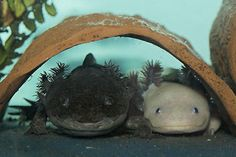 Axolotl - have got hooked on these again - am going to have to get some!