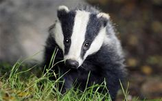 Badgers | campaigners have welcomed news of a badger cull delay photo ben ...