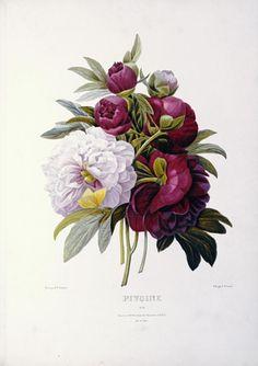 "PIERRE JOSEPH REDOUTE ""Peonies'' Digital Print"