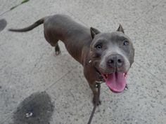 SAFE 9-2-2015 --- Brooklyn Center KIMMY – A1048191 FEMALE, GRAY, AM PIT BULL TER MIX, 1 yr STRAY – STRAY WAIT, NO HOLD Reason STRAY Intake condition EXAM REQ Intake Date 08/17/2015