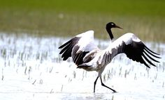 The Black-necked Crane (Grus nigricollis) is a medium-sized crane in Asia that breeds on the Tibetan Plateau and winters mainly in remote parts of India and Bhutan. It is 139 cm (55 in) long with a 235 cm (7.8 ft) wingspan, and it weighs 5.5 kg (12 lbs).