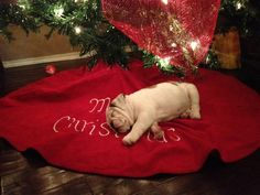 ~Bauer~ Christmas napping. I would love to find that little guy under my tree!!