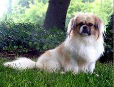 Tibetan Spaniel dog breed.