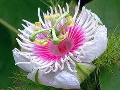 Cultura Guaraní: Flores Mburucuya Varidades