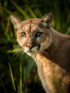 The Florida panther is an endangered subspecies of cougar (Puma concolor) that lives in forests and swamps of southern Florida in the United States. Florida Panthers are usually found in pinelands, hardwood hammocks, and mix swamp forests. (Florida Panther by Dave Wright)