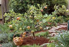 Grow small fruit trees for big rewards # gardenia Small Courtyard Gardens, Small Backyard Gardens, Backyard Garden Design, Small Gardens, Garden Landscaping, Fast Growing Shade Trees, Growing Fruit Trees, Fruit Tree Garden, Garden Trees