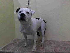TO BE DESTROYED THUR 1/23/14 - Manhattan Center    TANK - A0989841   MALE, WHITE / BLACK, PIT BULL MIX, 2 yrs  STRAY - STRAY WAIT, NO HOLD Reason STRAY   Intake condition NONE Intake Date 01/18/2014, From NY 10457, This poor baby has had NO TIME AT THE SHELTER & has inflamed testicles. Needs a hero NOW!!!