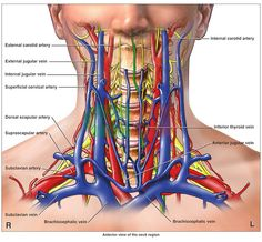 arteries in the neck | Anatomy of the Arteries, Veins and Nerves of the Cervical (Neck) Spine ...