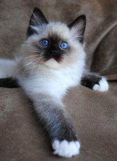 Прелестный голубоглазый котик