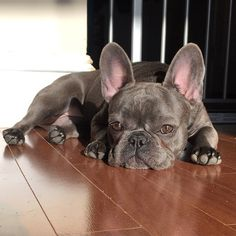 New York's 10 Most Adorable Frenchies, According To Instagram #refinery29  http://www.refinery29.com/cute-french-bulldog-pictures#slide-7  Am I tan yet?