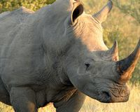 Save Rhinos from Rampant Poaching | Take action now and save Africa's last remaining rhinos! Click for details and please SIGN and share petition. Thanks.