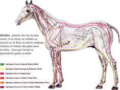 Shiatsu équin, Shiatsu animalier, Praticien shiatsu, Cheval, Equin, Rhône-Alpes, Ain, Soins, Energétique, Médecine douce, Brettnacher, Ecole Ecossaise de Shiatsu