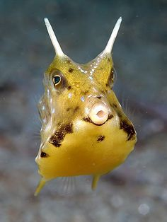 a Cow fish...this is my favorite saltwater fish! He just makes me smile:)