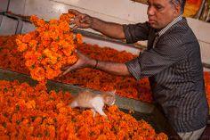 Marigold, Mysore