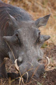 Warthog by Wild Dogger, via Flickr