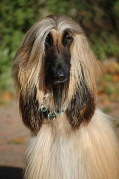 Afghan hound. This looks like someone I know