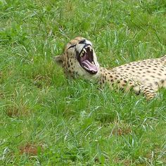 Lunes tal que... / Monday like... #nofilter #guepardo #cheetah #animals #animales #cabarceno #santander #wildlife #mouth #teeth #green #instagood #instagram