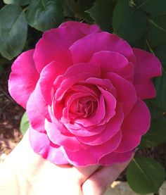 Easiest Way To Trim Roses And Keep them Healthy And Blooming!
