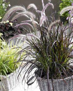 Pennisetum setaceum rubrum à cultiver en tant que plante d'ornement en pot
