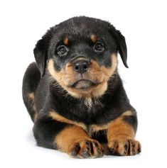 A great Rottweiler name for this cutie might be...Atlas, Polaris, Denali or Sierra. Find more ideas for boy or girl Rotties here>>> http://www.dog-names-and-more.com/Rottweiler-Names.html