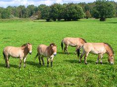 SPECIES-  Przewalski's Horse  (Equus ferus przewalskii), the Wild Horses of Mongolia
