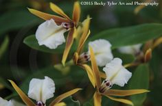Epidendrum Orchids Fine Art Photo Print by BeckyTylerArt on Etsy