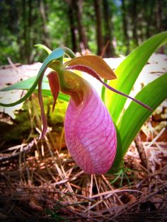 Lady Pink Slipper Orchid. Hard to believe something so beautiful grows wild in the woods!