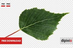 Free photo of birch leaf for download on www.dipixio.com #dipixio #freephoto #freebie #free #photo #freedownload #stockphotos #photography #graphics #photos #blog #blogger #pic #freeimage #stock