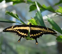 King Swallowtail or Thoas Swallowtail [Papilio thoas]. In order to see it real up-close and fully appreciate the beauty, click on this image and on the next two more images.