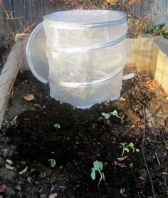 How to protect your broccoli, cauliflower, and cabbage seedlings (without spending a fortune): BrownThumbMama.com