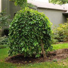 A small tree that's exceptionally easy to grow, weeping mulberry is commonly used by home gardeners and professional landscapers alike. Trees For Front Yard, Patio Trees, Garden Trees, Weeping Mulberry Tree, Weeping Trees, Sequoiadendron Giganteum, Betula Pendula, Weeping Blue Atlas Cedar, Weeping Norway Spruce