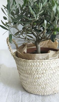 little olive tree in a woven straw basket makes a nice accent to any home. Potted Olive Tree, Olive Plant, Indoor Garden, Indoor Plants, Outdoor Gardens, Ikebana, Olivier En Pot, Plantas Indoor, Home Decoracion