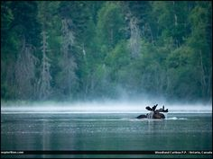 I encountered this swimming moose at while on a back country canoe trip in Woodland Caribou Provincial Park in Ontario, Canada. Parks Canada, O Canada, Ontario Provincial Parks, Canadian Identity, All About Canada, Canadian Things, Nostalgia, Interesting Buildings, Canoe Trip