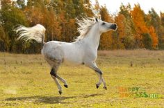 Grey Arabian~~~~I miss my girls Annie and Allie> This one looks like my Allie!