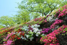 azalea hedge.