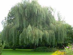 Treurwilg (Salix vitellina var. pendula) | MijnTuin.org