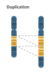 Simple & clear diagram showing a chromosome duplication, when part of the chromosome is repeated. This is part of our illustration series depicting chromosome abnormalities in an easy-to-understand schematic way.