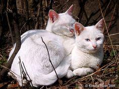White kitties.