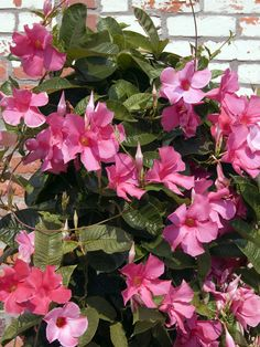 Mandevilla Vine* This popular twining vine is laden with blooms from late spring to frost. Varieties include pink, yellow, white and dark red. Plant in full sun in well-draining soil. Deciduous or evergreen, depending on species. USDA Hardiness Zones: 8B to 11