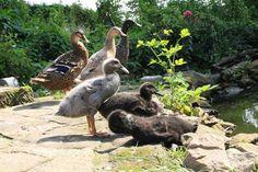 Kachnu, která sbírá slimáky, si zamilujete. Jak chovat indické běžce? - Hospodářská zvířata