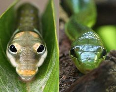Spicebush swallowtail caterpillar (L) and common green snake (R). Animal lookalikes. Mother Nature Network