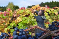 Frithsden Vineyard (Hertfordshire) welcome volunteer pickers and reward them with a barbecue and drinks!