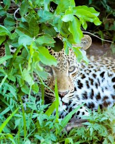 """""""The world always looks brighter from behind a smile. Kruger National Park, National Parks, Rosettes, Big Cats, Conservation, Bright, Smile, World, Prints"""